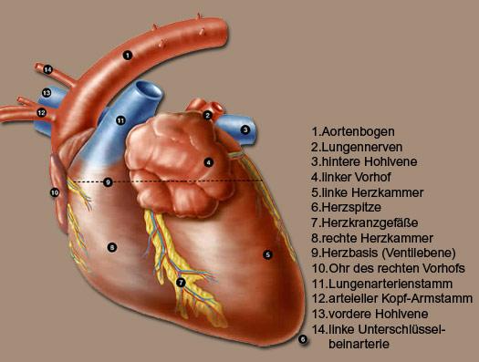 Rechts oder sitzt die links wo bauchspeicheldrüse Welche Organe